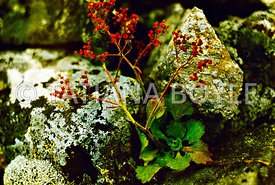Saxifraga tilingiana, Saxifragaceae, endemic species, in its native habitat; Pribrezhnyi Mountain Range, Russian Federation |...