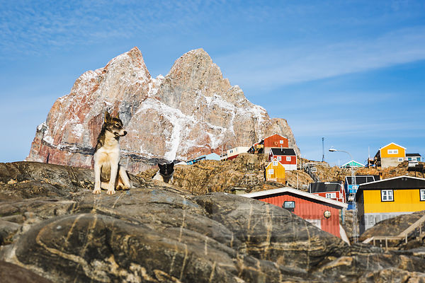 A Greenlandic sled dog guards the Uummannaq mountain