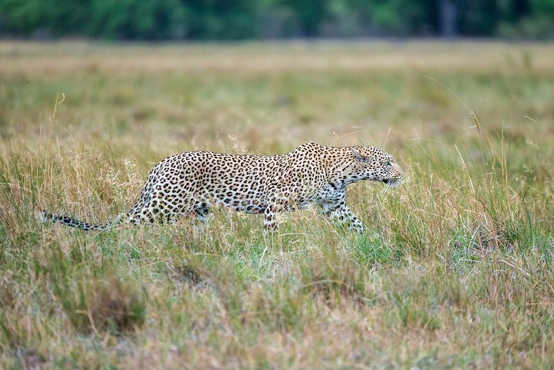 Leopard Stalking Prey in Long Grass