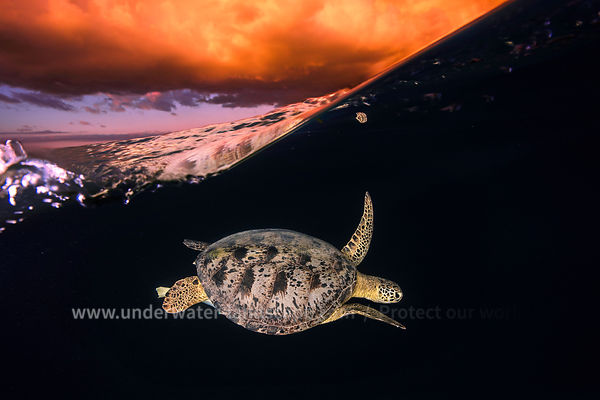 Green turtle golden Hour - Sea Turtle