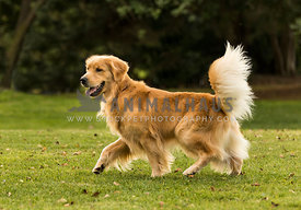 golden retriever walking through park with beautiful tail