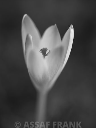 Close-up of crocus (B&W)