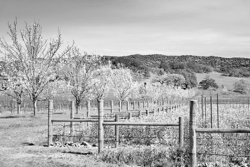 SPRINGTIME IN NAPA VALLEY CALIFORNIA BLACK AND WHITE