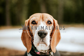 Beagle in forest with snow