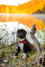 portuguese  water dog at lake with golden background