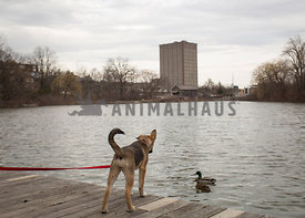 dog on dock looking at ducks in water
