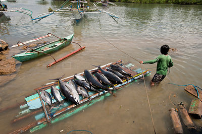 Fisherman brings in Yellowfin tuna for weighing and grading at harbour market, Puerto Princesa, Palawan, Philippines, April 2009