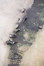 Aerial view of African elephants (Loxodonta african) bathing in mud on the banks of the Linyanti River, Botswana.  Taken on l...
