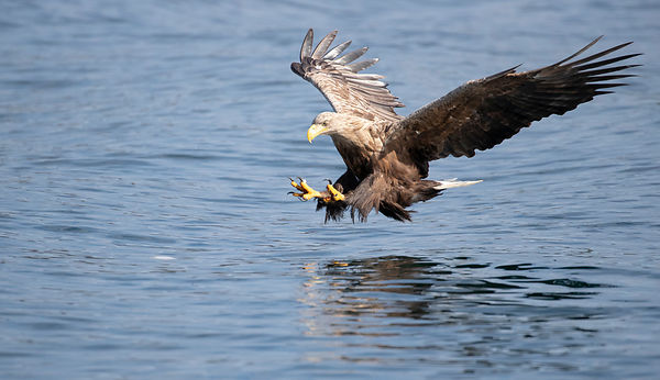 Sea Eagle approaching for a catch...