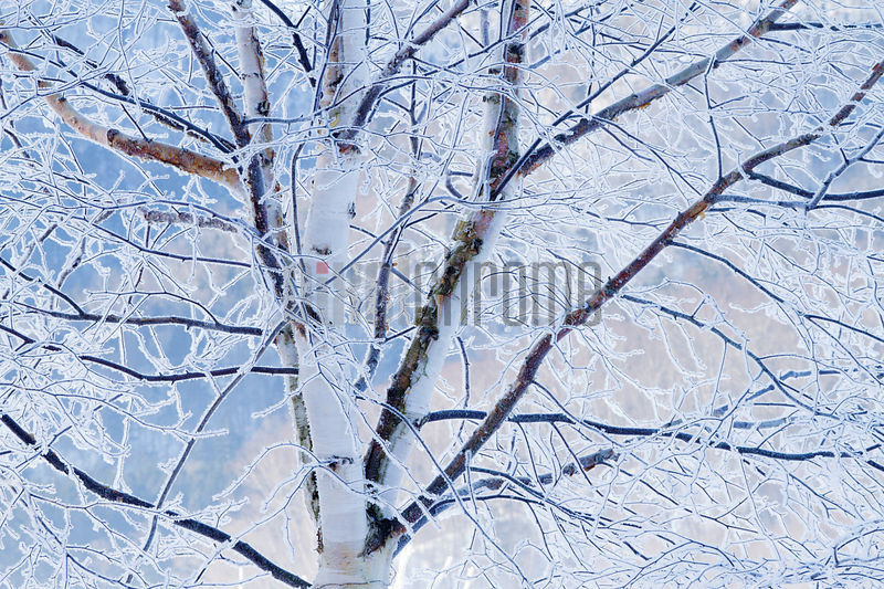 Frost-covered Tree