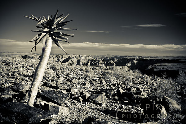 A succulent plant growing above a desert canyon.
