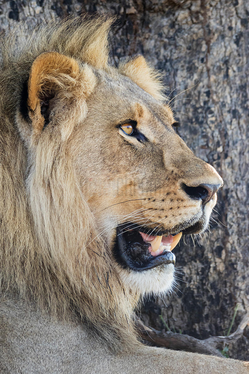Portrait of a 3-Year Old Male Lion