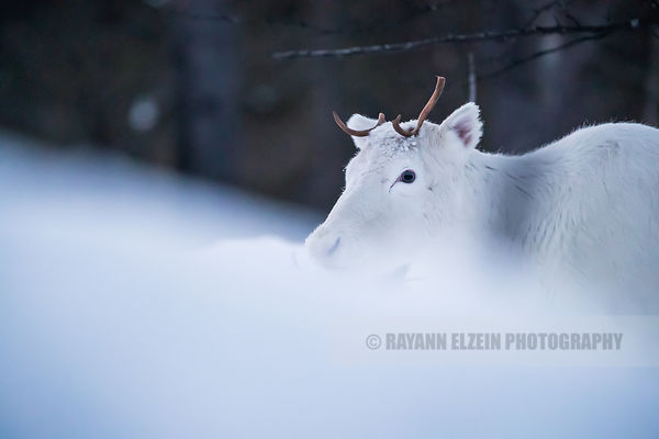 White reindeer in Lapland