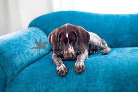 german shephard pointer looking down on the ground possibly at his ball while sitting on blue couch