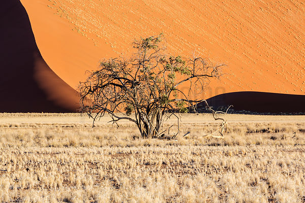 Lone Tree with Dune Background