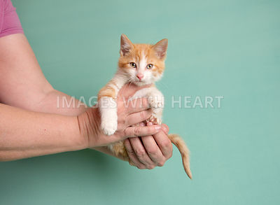 orange and white tabby kitten being held in hands