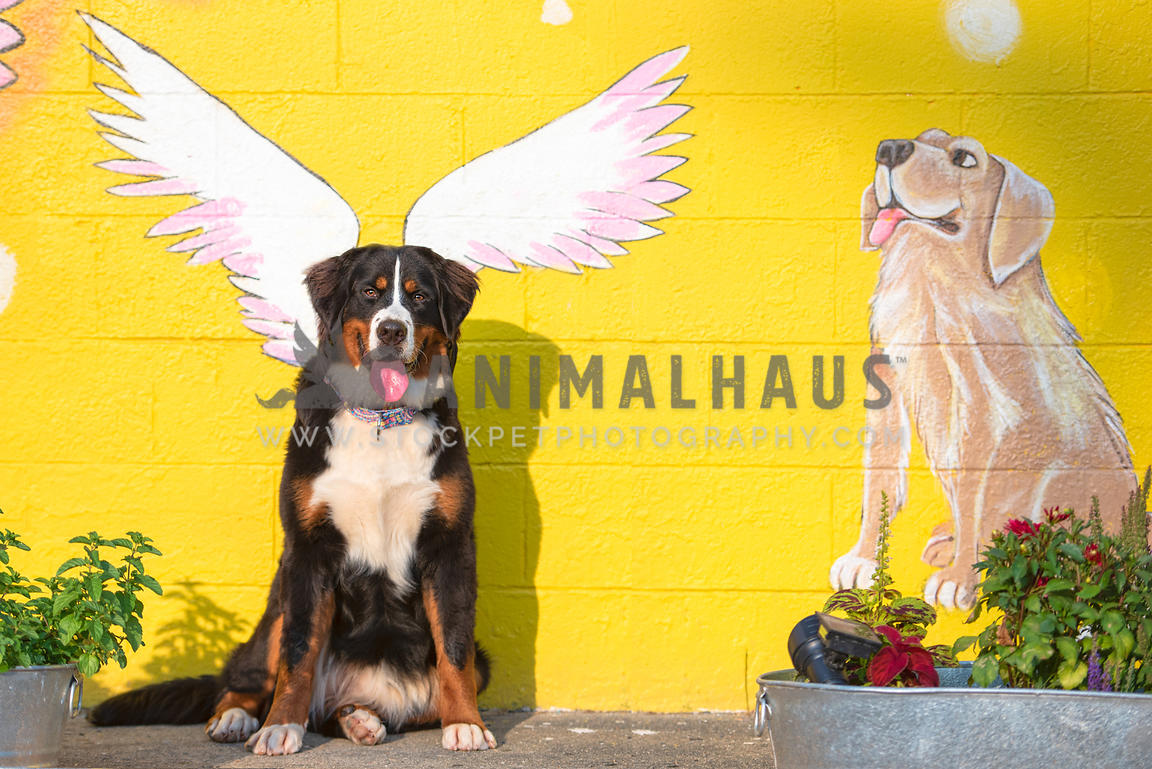 bernese mountain dog sitting in front of painted wings on mural