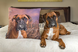 Boxer Dog with head tilt and photo pillow