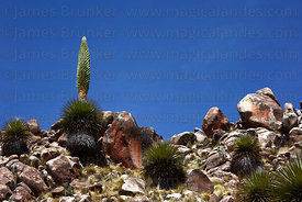Puya raimondii in flower , Bolivia