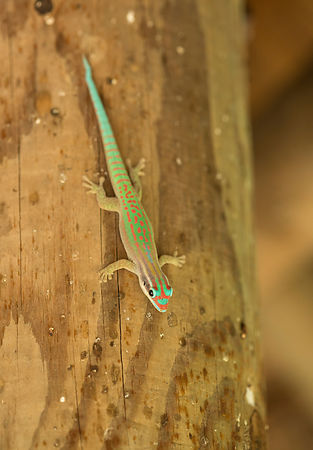 Admittedly on a wooden post within the visitors centre, this photo shows the amazing colours of the Ornate Day Gecko