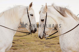 two white horses facing each other