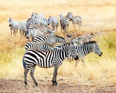 Zebra Herd in Africa