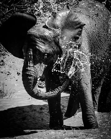 9318-Elephant_spraying_water_Laurent_Baheux