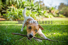 Jack Russell Terrier chewing stick