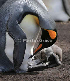 King Penguin (Aptenodytes patagonicus) takes the opportunity to preen itself while its chick is not being brooded, Volunteer ...