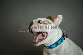 Profile of young french bulldog in studio