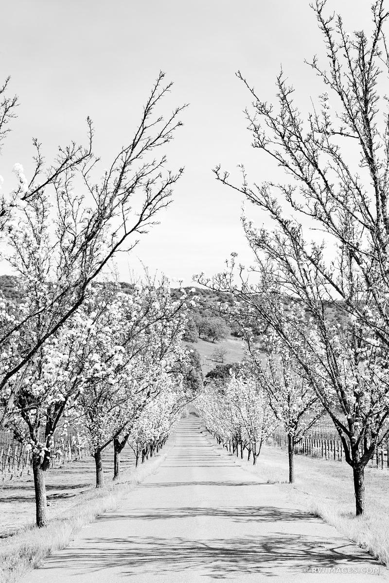 FLOWERING TREES SPRINGTIME NAPA VALLEY CALIFORNIA BLACK AND WHITE VERTICAL