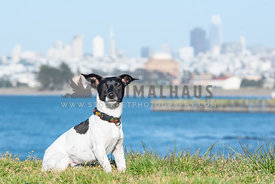 small black and white terrier sitting in front of San Francisco skyline