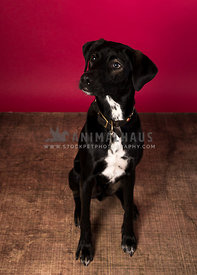 black and white mix breed dog looking to side red background