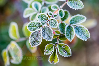Morning frost on rosehip leaves