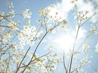 Cow parsley flowers in summer time