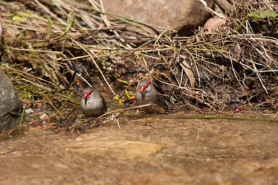 Red-browned Finches on the waters edge