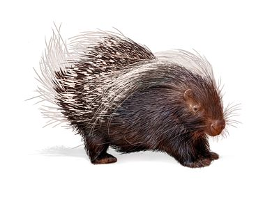 Porcupine Isolated on White
