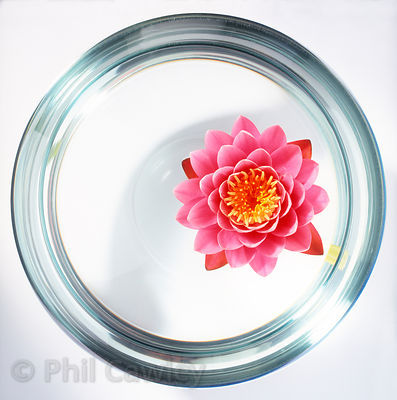 water lily in a goldfish bowl