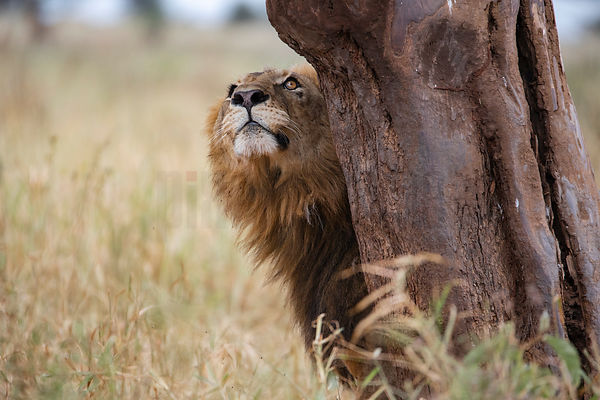 Male Lion Deciding Whether to Climb a Tree after a Female in Oestrus