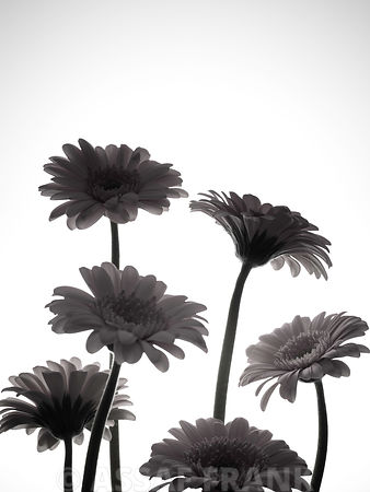 Gerbera flowers, back lit