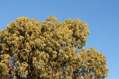 Eucalyptus camaldulensis or River Red Gum
