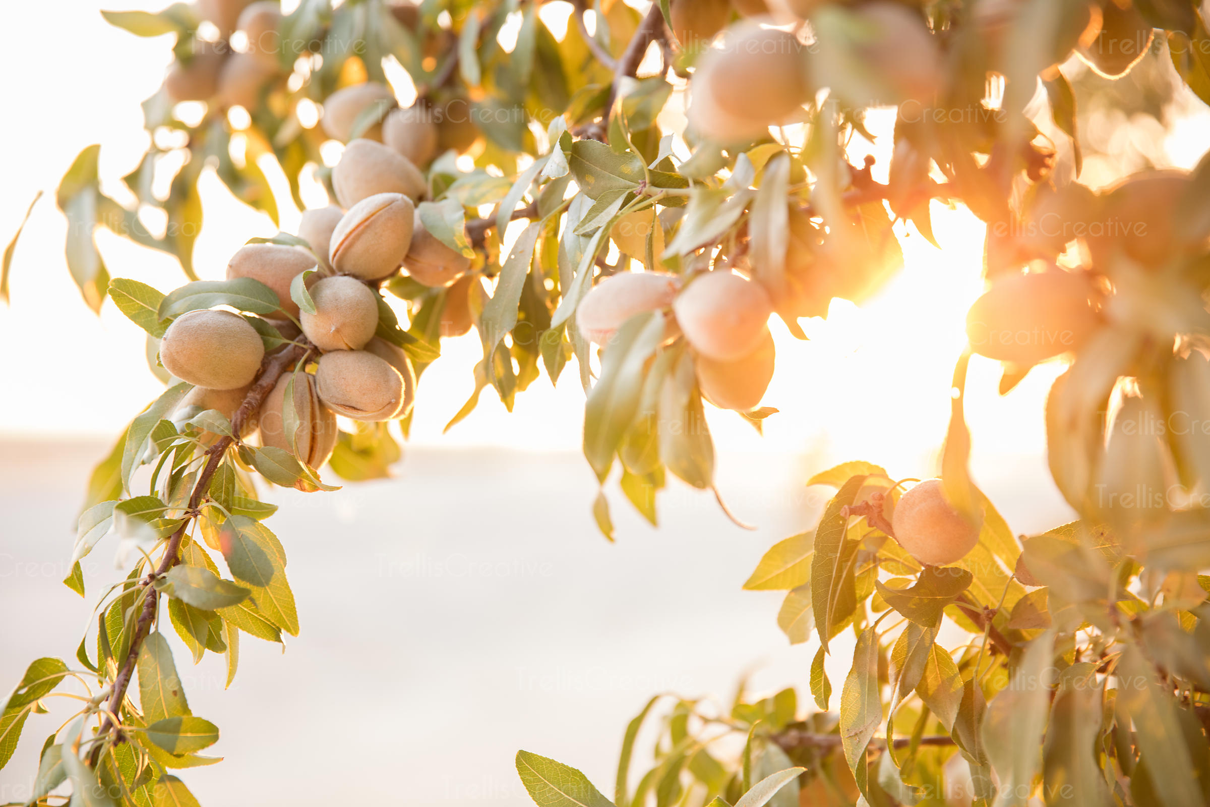 Almonds on tree branch with the sun behind