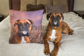 Boxer dog looking up with photo pillow