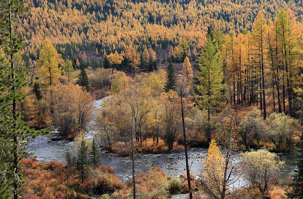 Colourful autumn views in Altai Mountains at the river Multa in Katunsky Range, with riparian leaf forest and conifers, Siber...