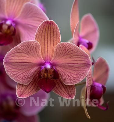 Orchid_phalaenopsis-9572_October_07_2018_NAT_WHITE