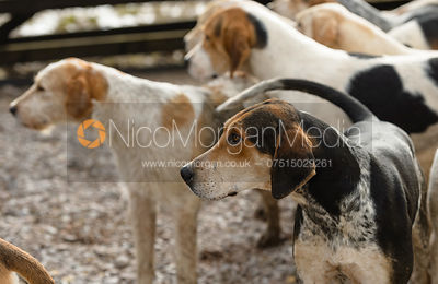 Cottesmore hounds at the meet at Newbold