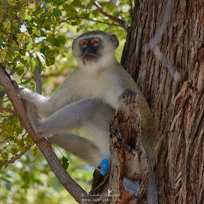 Male vervet monkey with blue gear