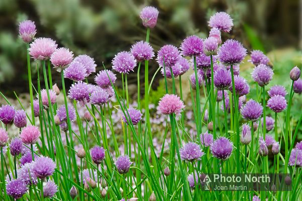 CHIVES 03A - Chives in flower