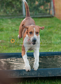 Fox hound jumping a fence during an evening of Hound Racing