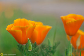 California Poppies #3
